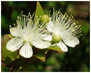 The Myrtle Flower